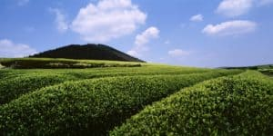 This is a photo of an AmorePacific tea field on Jeju Island, South Korea.